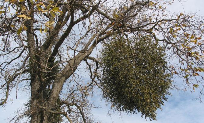 about-mistletoe